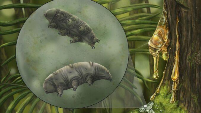 Artistic representation of the fossilized tardigrade called Paradoryphoribius chronocaribbeus in moss. (Holly Sullivan, Harvard, NJIT/Zenger)