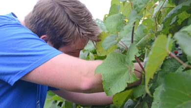 Photo of MTSU invites public to 5 upcoming Saturday grapevine pruning sessions