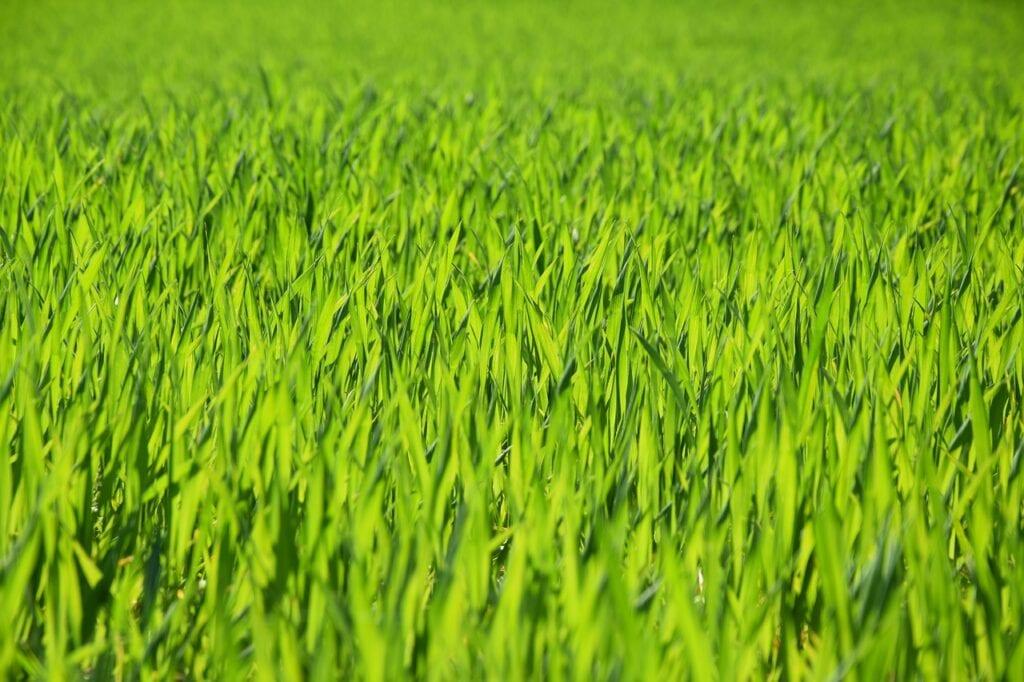 wheatgrass-4388717_1280