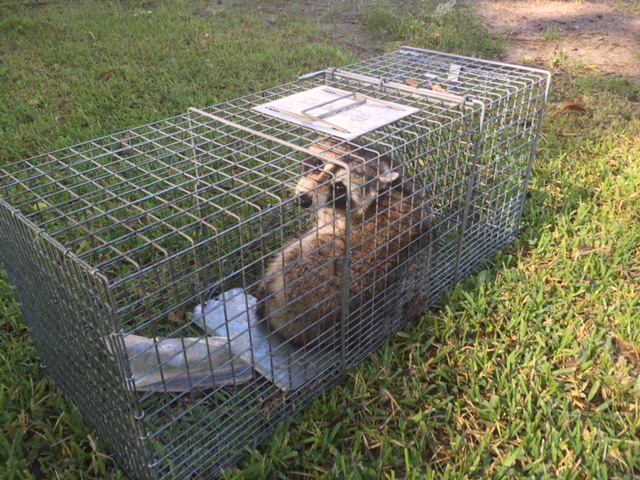Raccoon Removal in Prattville, AL