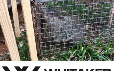Ground Hog Removal Montgomery, AL
