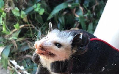 Opossum Removal Montgomery, AL