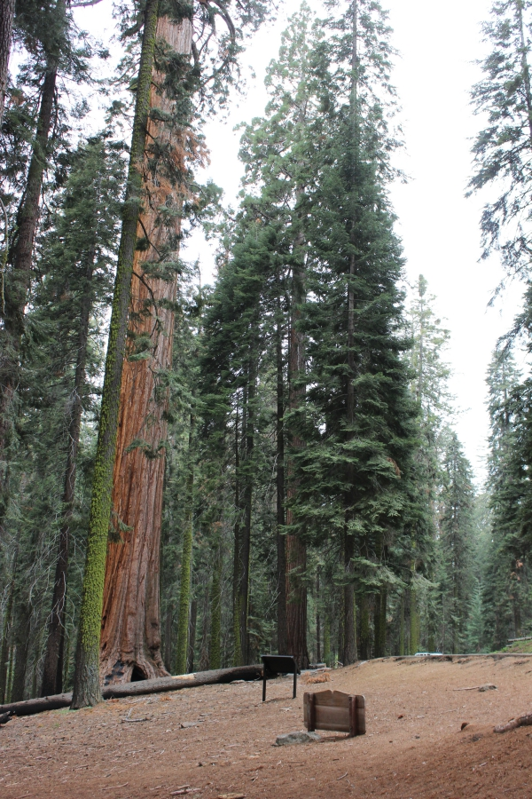 SequoiaIMG_8246