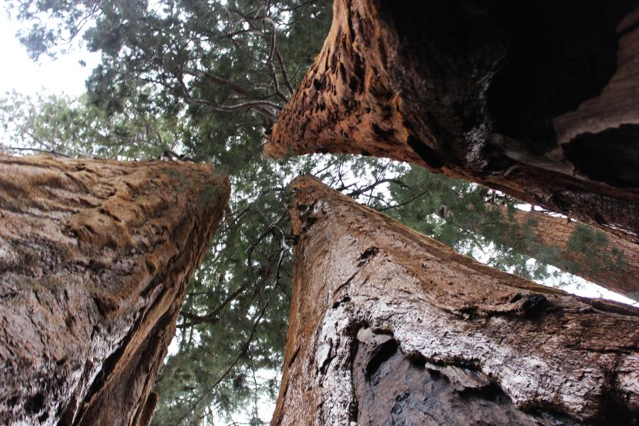 SequoiaIMG_8255