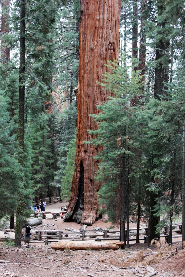 SequoiaIMG_8293