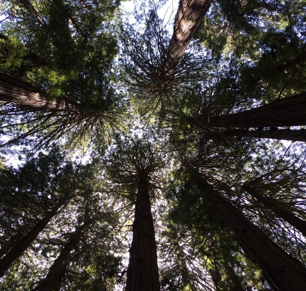 Muir WoodsIMG_3721