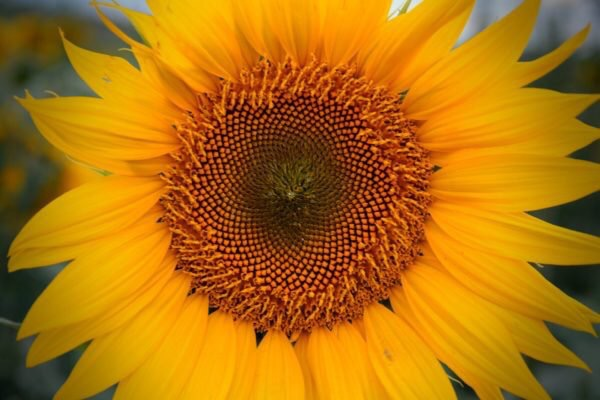 Close up picture of the center of a sunflower.