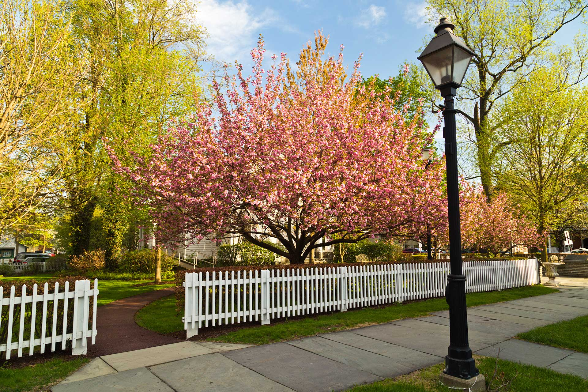 spring flowering trees behind a white picket fence and sidewalk with lantern post