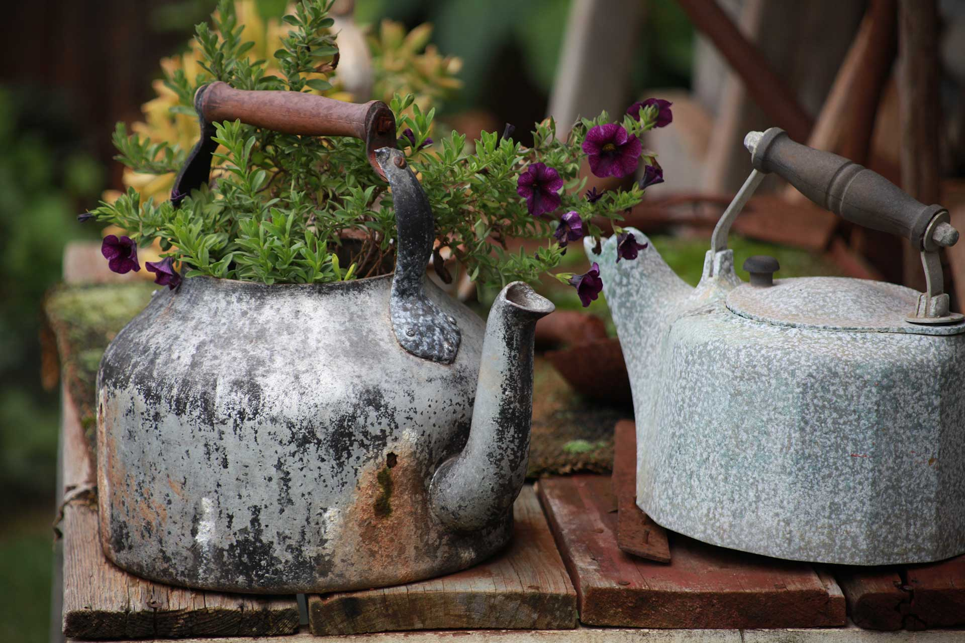 two vintage tea pots on an old wood table with purple flowers and leaves coming out