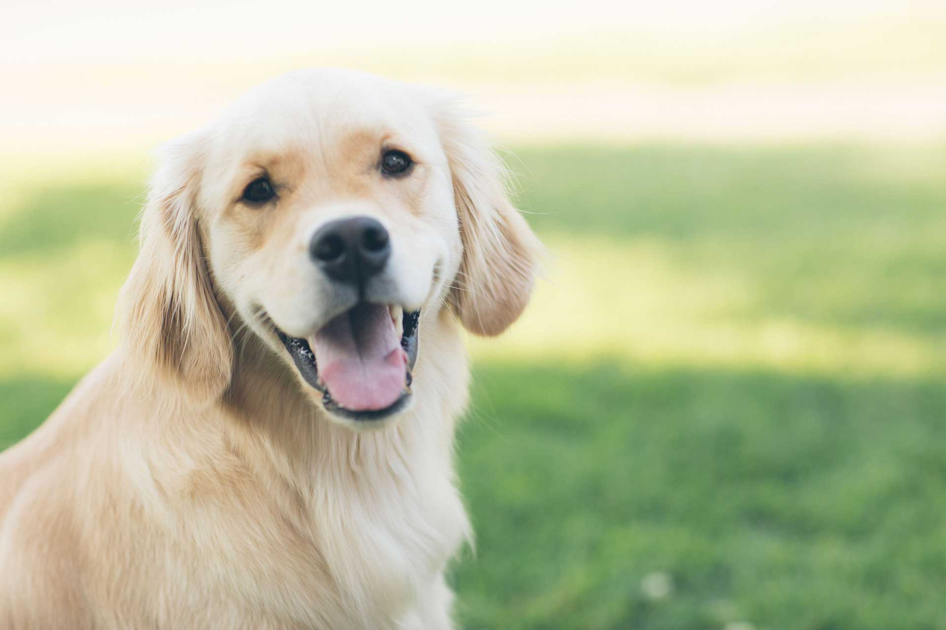 a golden retriever smiling looking at the camera