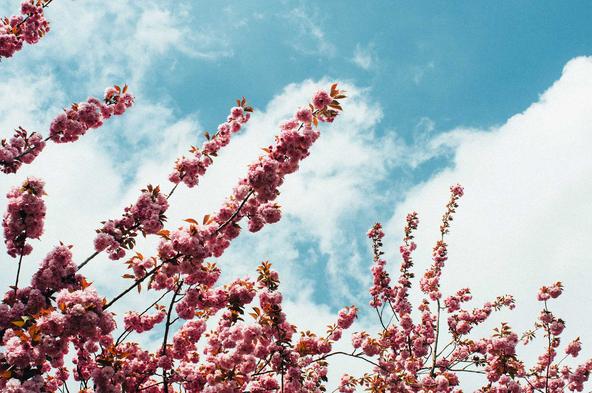 branches of a pink flowering tree against a blue sky with white clouds