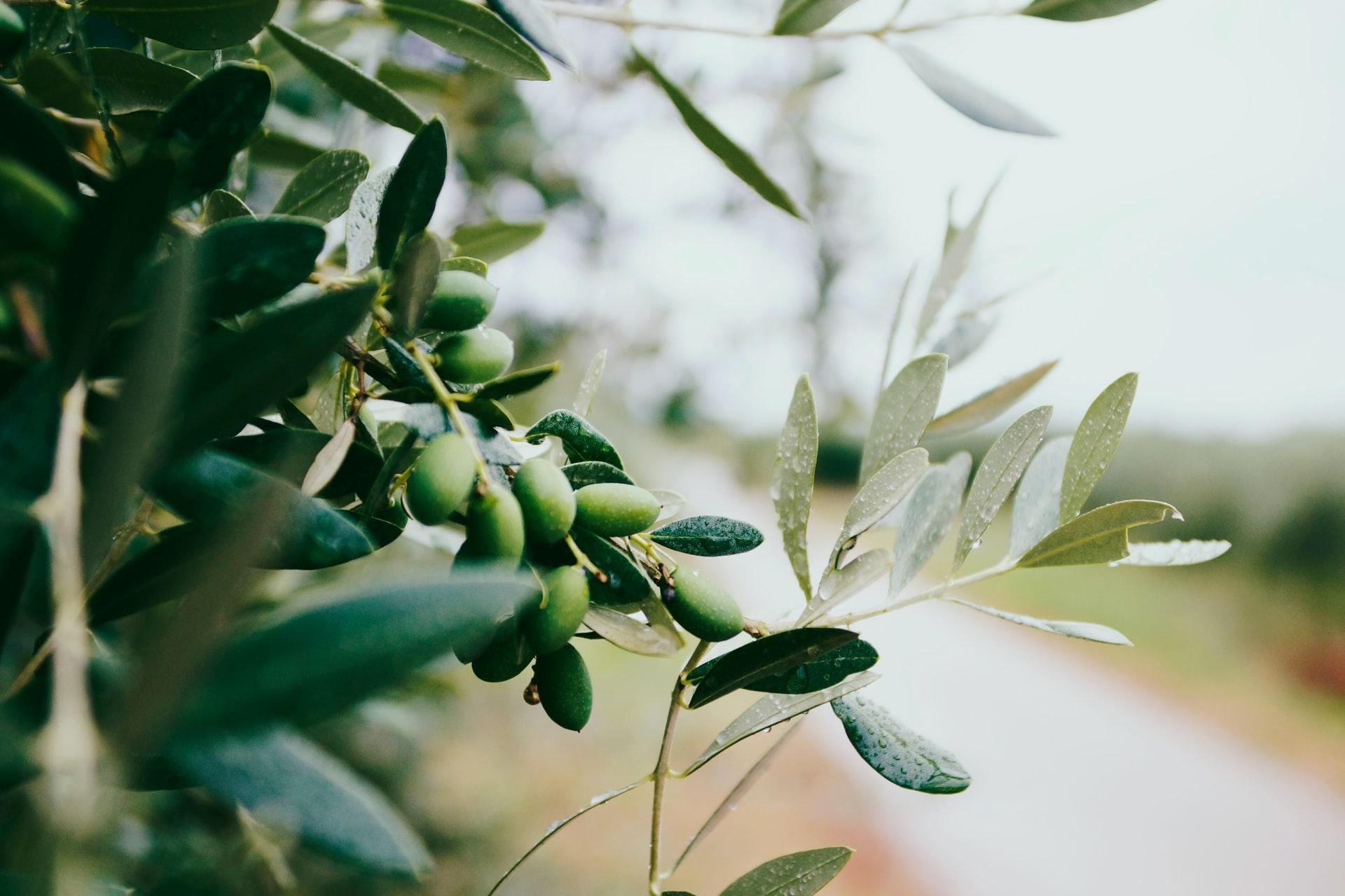 olives on olive branch