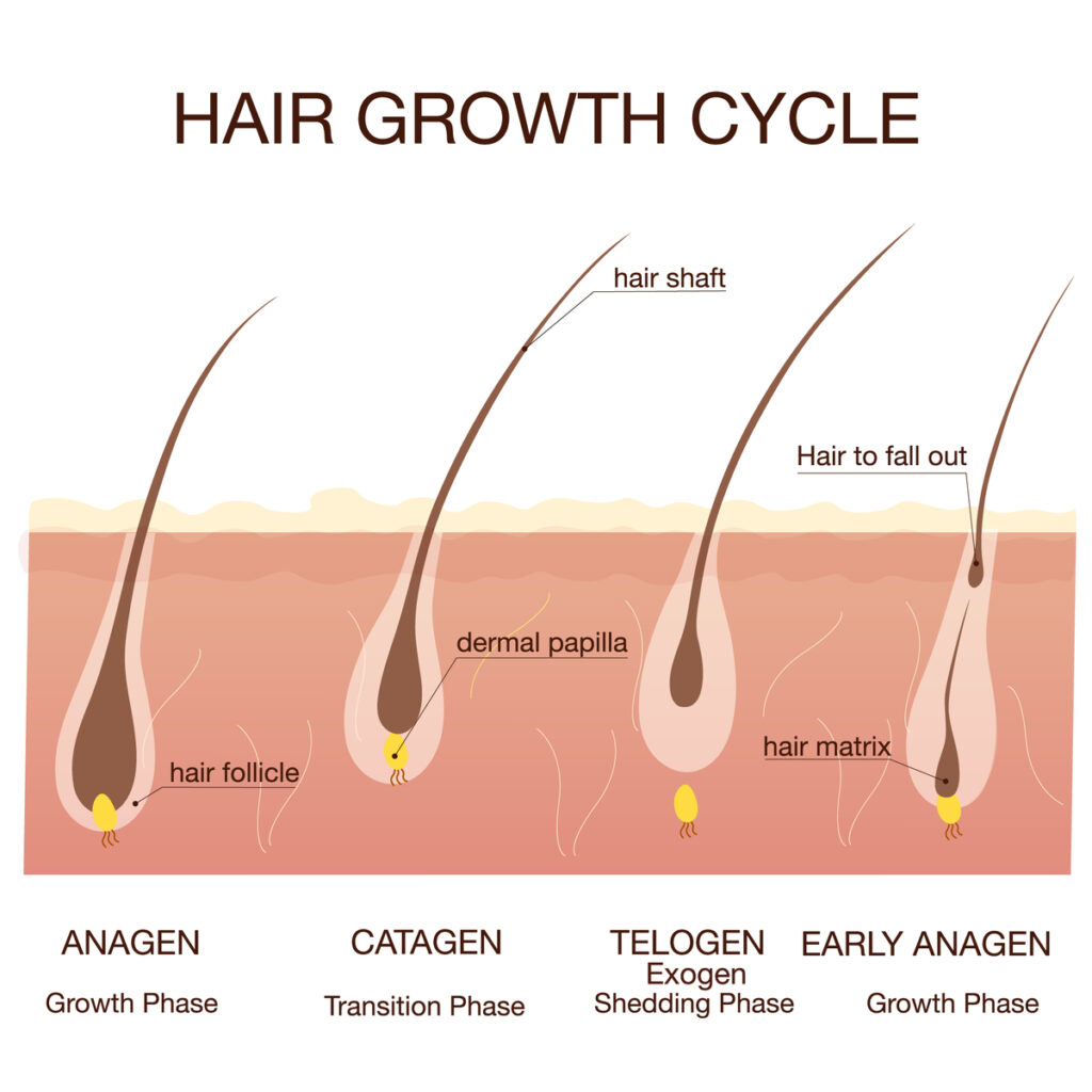hair growth cycle and phases chemo-induced alopecia