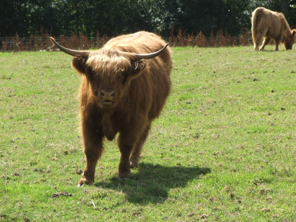 Love Scotland | Scottish Cow
