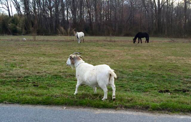 goat in the road