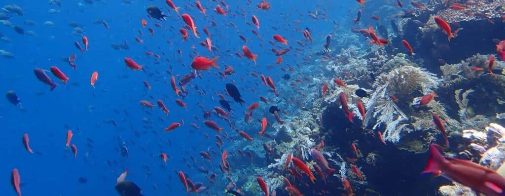 Anthias over coral reef at Batu Bolong Dive Site in Komodo, Indonesia aboard a dive liveaboard