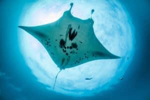 Manta Ray Komodo Indonesia, Manta Alley Dive Site aboard Indonesia Dive Liveaboards