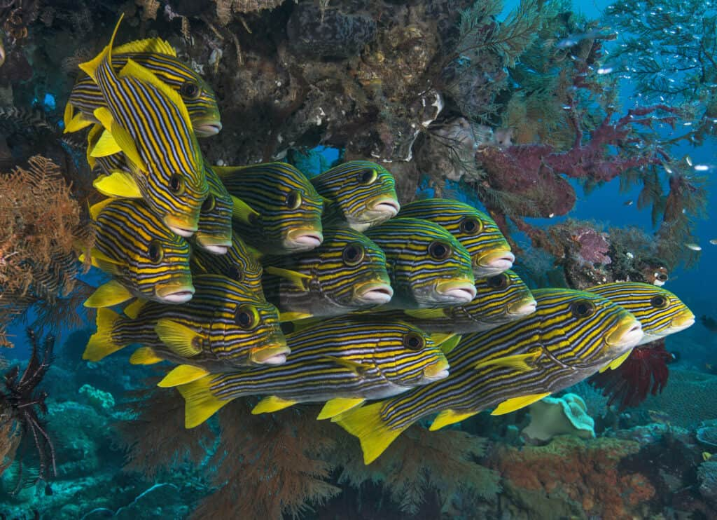 School of sweetlips while diving in Raja Ampat Indonesia