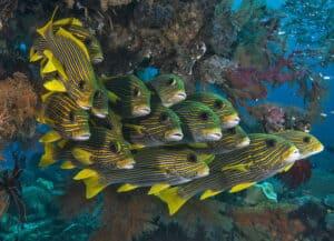 School of Sweetlips swimming along reef in Raja Ampat, Indonesia