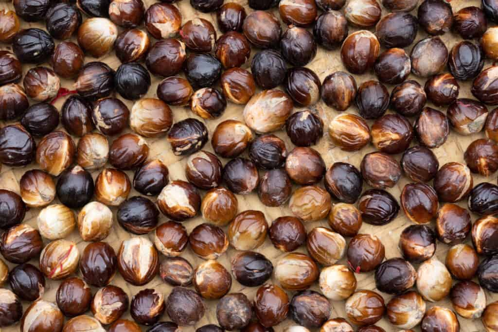 Nutmeg drying at a plantation on Banda Neira in Banda Sea, Indonesia