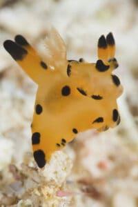 Pikachu Nudibranch, Komodo Diving Wainilu Dive Site