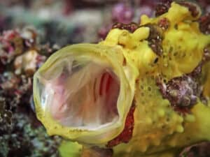 Warty frogfish on a dive in Komodo aboard Indonesia Dive Liveaboard