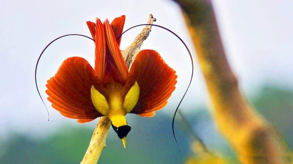 Bird of Paradise Raja Ampat, Papua, Birdwatching Indonesia