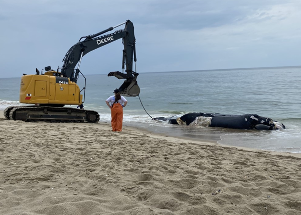 LandMark Excavation & Site Work Removes Endangered Beached Whale From Jersey Shore Beach