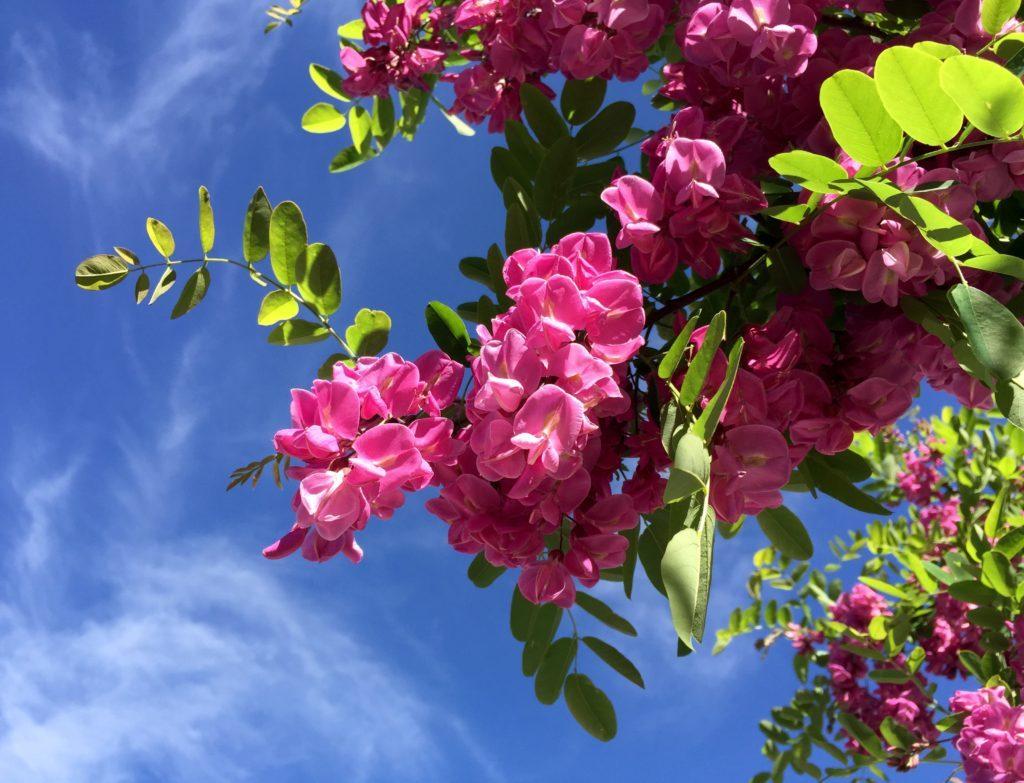pink-flower-in-tree-1024x783