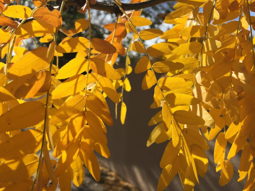 yellow leaves in fall