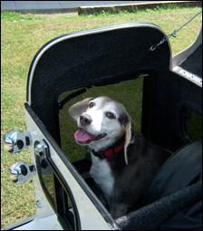 A beagle inside a white cargo trailer