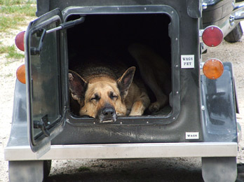 A German Shepherd riding a cargo trailer