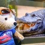 Duffy the Disney Bear meets his first Alligator