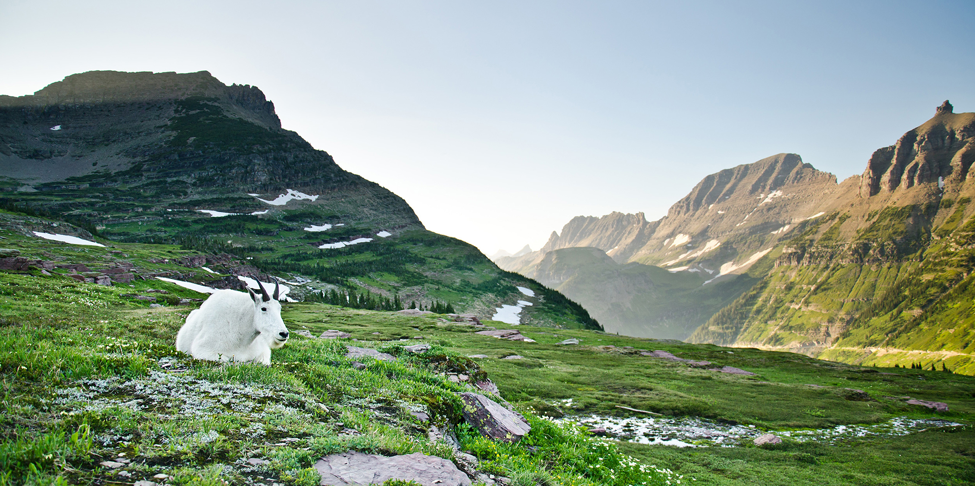 Mountain Goat at Logan Pass - Glacier National Park, Montana