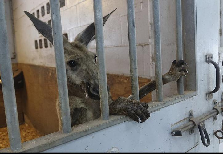 Detenido canguro que paseaba en Florida
