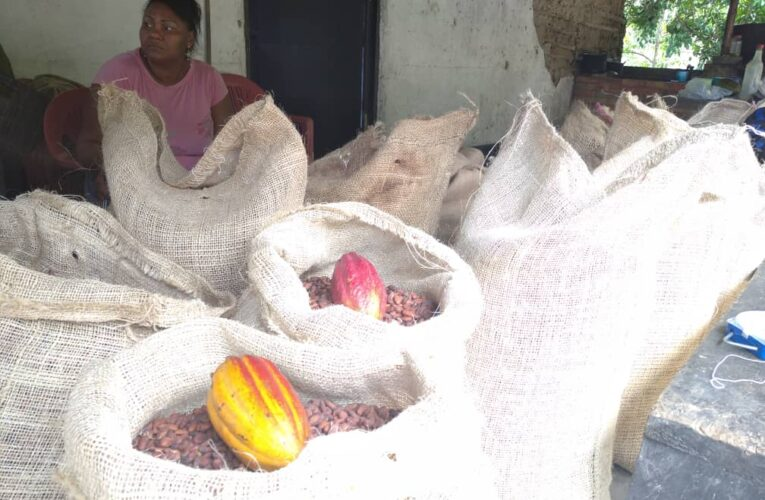 Carayaca y Caruao producen cacao  con calidad de exportación