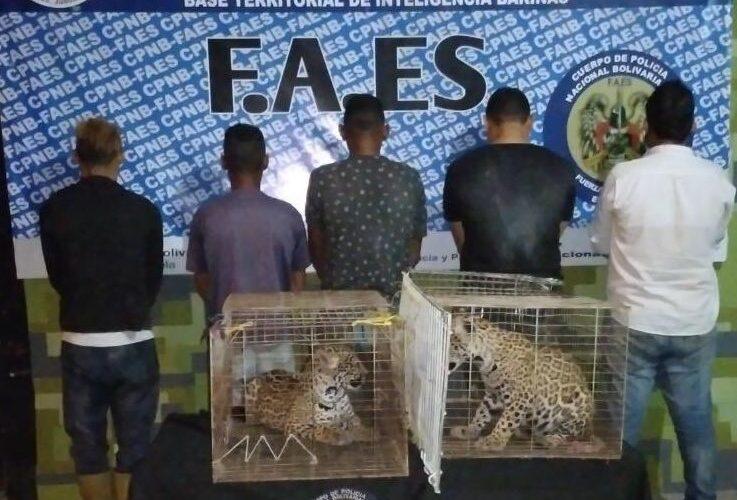 Cinco detenidos por caza y contrabando de jaguares en Barinas