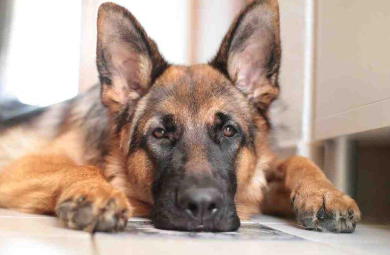 Muere el primer perro diagnosticado con Covid en EEUU