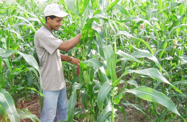 Siembra de maíz y de arroz caen entre 44% y 50%