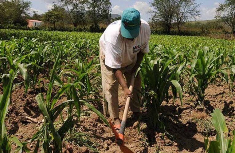 Por falta de fertilizantes están en riesgo miles de hectáreas de maíz en Guárico