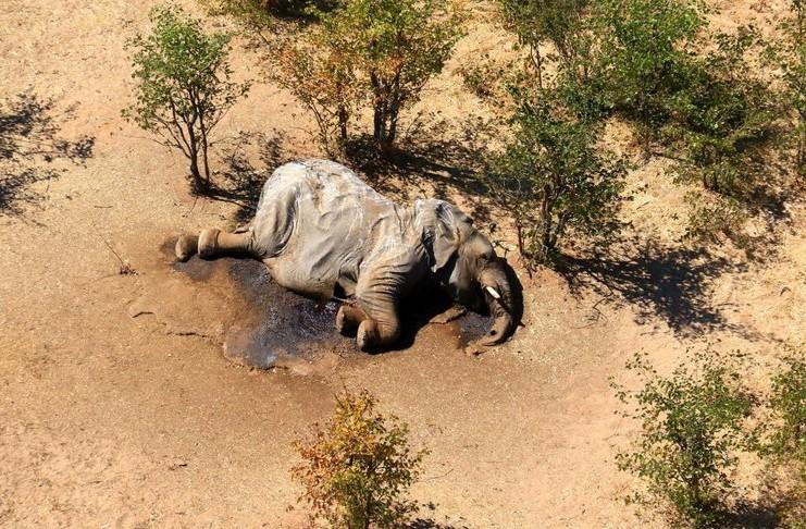 Una bacteria mató a los 330 elefantes en Botswana