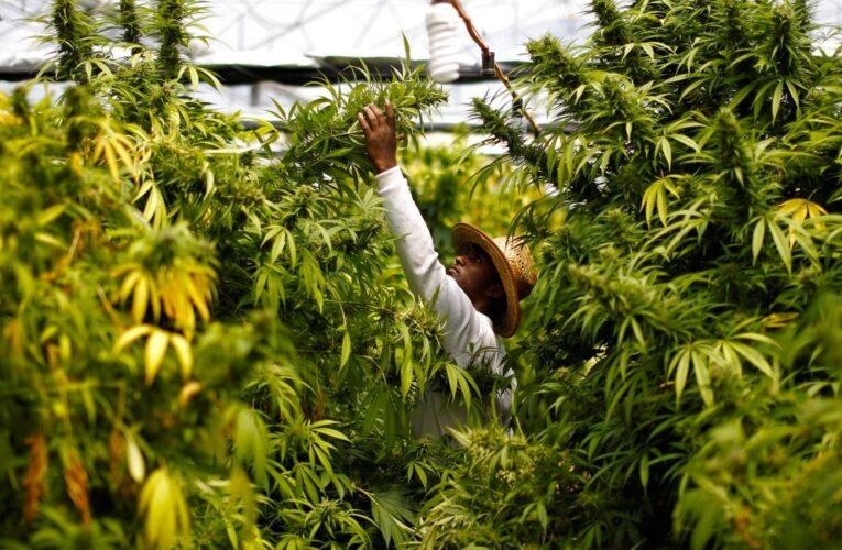 México reglamenta producción y uso de marihuana