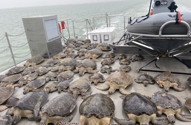 Ola de frío congela a tortugas marinas en Texas