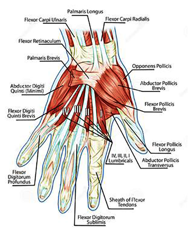 Hand and Wrist Patient Education at Frisco Hand Center - Anatomical Illustration of Hand.