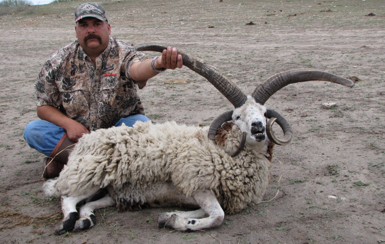 Jacob Sheep Hunting in Texas