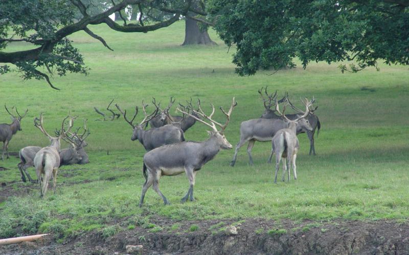 Pere David's Deer Exotic Hunt in Texas