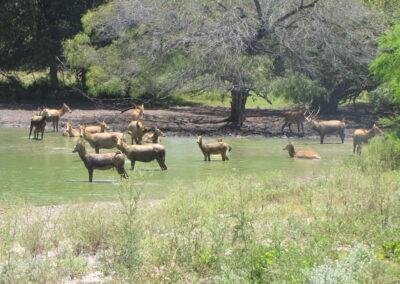Pere David's Deer Hunt