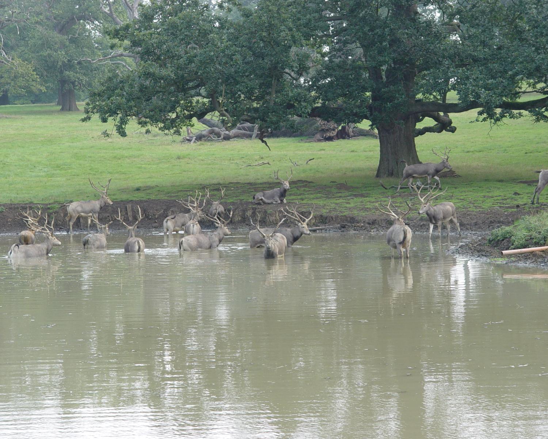 Pere David's Deer Hunting in Texas