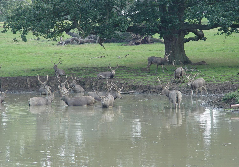 Pere David's Deer at the Ranch
