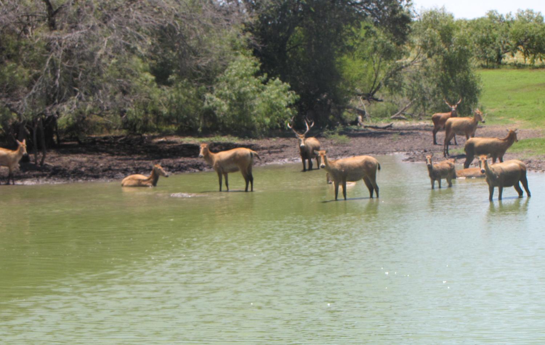 Texas Pere David's Deer Hunting